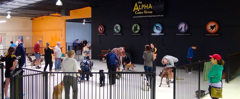 Experience the Alpha difference...38 dogs holding sit, drop and stand step-aways under distraction